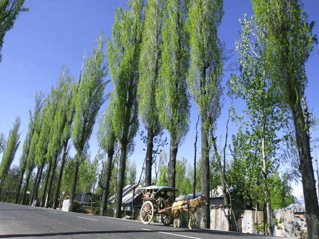 A horse-drawn cart goes past poplars on a highway at Narbal, 15 km north of Srinagar.