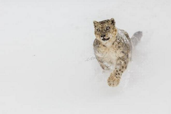 A female snow leopard photographed by Ismail Shariff
